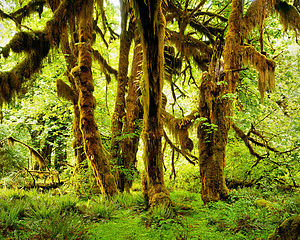 Hoh Rainforest - Bigleaf maples in the Hoh Rainforest
