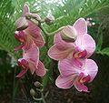 BUGA 05 Orchidee 04.jpg
