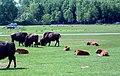Baby buffalo (160560629).jpg