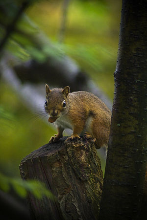 Tree squirrel - American red squirrel (Tamiasciurus hudsonicus)