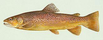 Brown trout - Image: Bachforelle Zeichnung