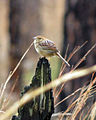 Bachman's Sparrow, Santee Coastal, South Carolina.jpg