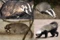 BadgerCollage.png