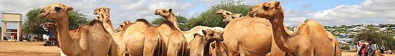 Camels on sale at Baidoa livestock market in Somalia on November 7, 2019