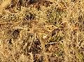 Baird's Sparrow, San Rafael Grasslands, AZ, 22 Feb 2015 (16021951024).jpg