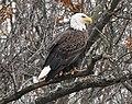 Bald Eagle (198444577).jpeg