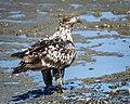 Bald Eagle (subadult) (41740969780).jpg