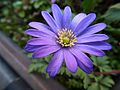 Balkonkasten blaue Blüten.JPG