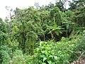 Bamboo and ferns in Peru rainforest ().jpg