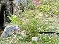 Bambusa multiplex - Villa Carlotta (Tremezzo) - DSC02347.JPG