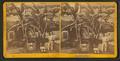 Banana tree, by Wood & Bickel.png