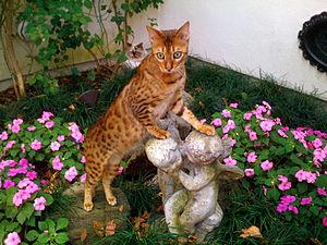 Bengal cat - Bengal cat
