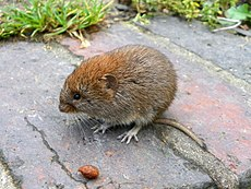 Bank Vole Myodes glareolus Grand Union Canal 2.jpg