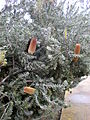 Banksia praemorsa 1c.JPG