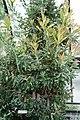 Banksia serrata - Longwood Gardens - DSC01216.JPG