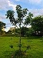 Baobá na quadra 209 norte, em Brasília.jpg