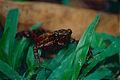 Barbotin's Harlequin Toad (Atelopus barbotini) (10384080645).jpg