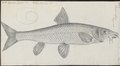 Barbus vulgaris - 1774-1804 - Print - Iconographia Zoologica - Special Collections University of Amsterdam - UBA01 IZ15000095.tif