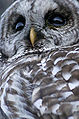Barred Owl (Strix varia).jpg