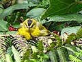Basileuterus nigrocristatus (Arañero cabecinegro) (14576466686).jpg