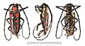 Batocera roylei Hope, 1833 compressed (6985114455).jpg