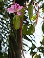 Bauhinia variegata 0003.jpg