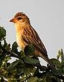 Baya Weaver Ploceus philippinus by Dr. Raju Kasambe DSCN0233 (19).jpg