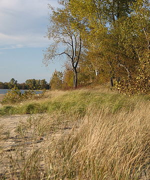 Photograph of a sandy beach with two types of beachgrass; there are trees in the background with leaves turning to autumn colors.