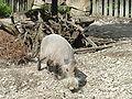 Bearded pig DSC00990.JPG