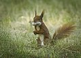 Bearded squirrel (29021978218).jpg