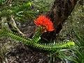 Beaufortia squarrosa Flowers.jpg