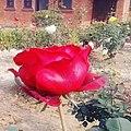 Beautiful red rose flower.jpg