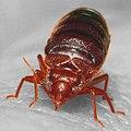 Bed bug, Cimex lectularius (9627010587).jpg
