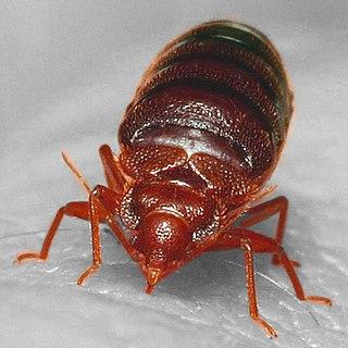 <i>Cimex lectularius</i> species of insect
