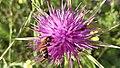 Bee collecting purple flowernectar6.jpg
