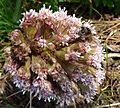 Bee on Butterbur - Flickr - gailhampshire.jpg
