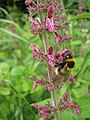 Bee on Hedge Woundwort - geograph.org.uk - 1359916.jpg