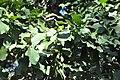 Beilschmiedia berteroana 06.jpg