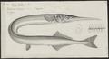 Belone vulgaris - 1700-1880 - Print - Iconographia Zoologica - Special Collections University of Amsterdam - UBA01 IZ14800111.tif