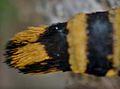 Bembecia Ichneumoniformis FemelleMorgat2011Lamiot980.jpg