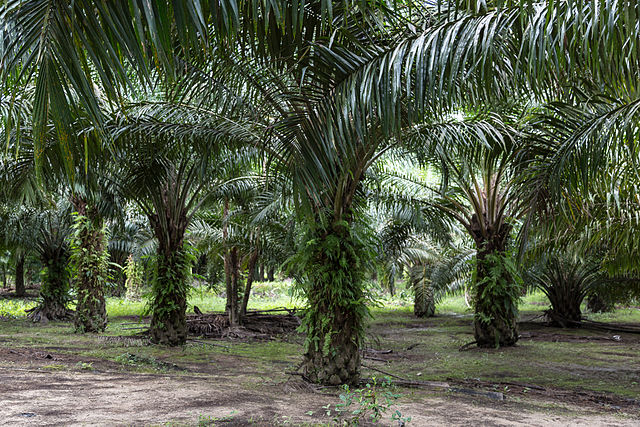 Palm oil plantation in Sabah