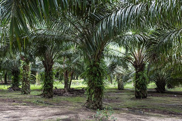 Palm oil plantation in Sabah