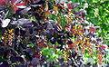 Berberis vulgaris var. atro-purpurea resize.jpg