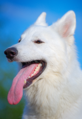 Berger blanc suisse2.png