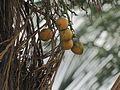 Betel Nuts in my garden.jpg