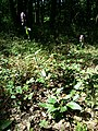 Betonica officinalis (subsp. officinalis) sl1.jpg