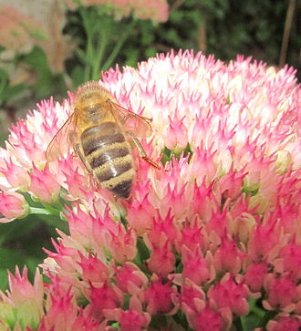 Carniolan honey bee - Carnica bee on Hylotelephium 'Herbstfreude'