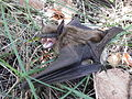 Big-Brown-Bat-Eptesicus-fucus-Fierce-Look-3-Wikimedia.JPG