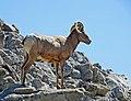 Big Horn on Santa Rosa Mountain 3-15d (16792782431).jpg