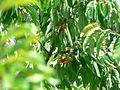 Bigarreau tree.jpg